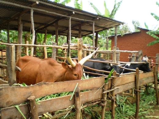 Rwandan cows (2011)