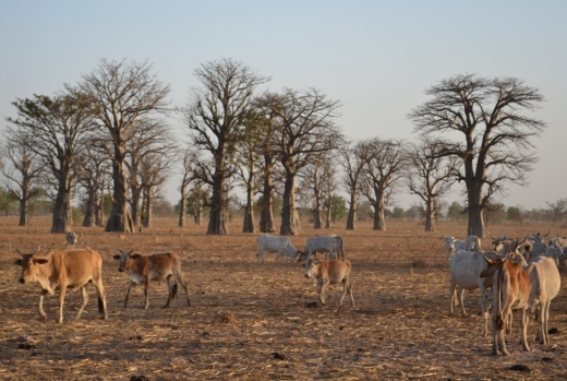 Cows and baobab