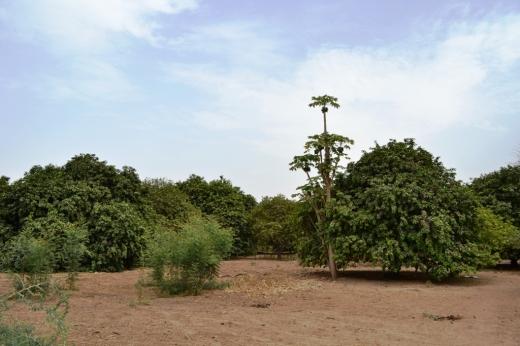 isra_trees 1