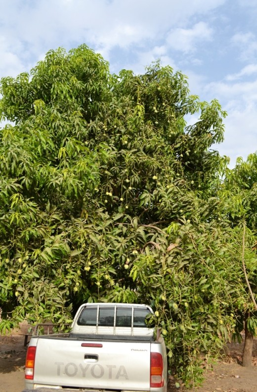 Tree_mango