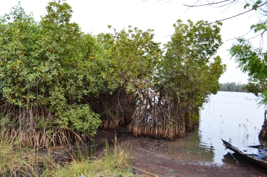 Tree_mangrove