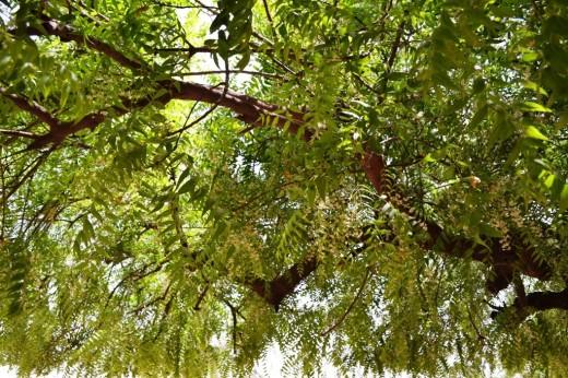 Tree_neem 1