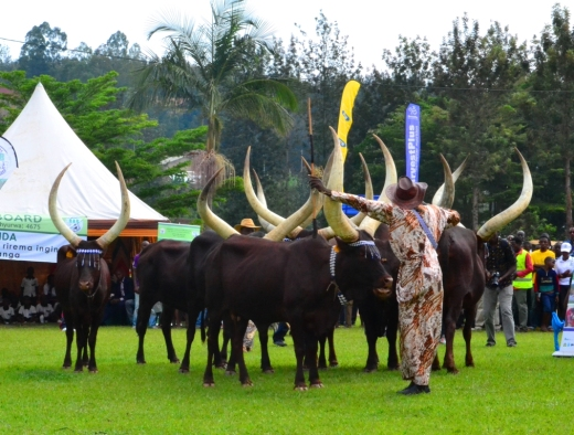Inyambo cows and the cowboy singing and praising the herd